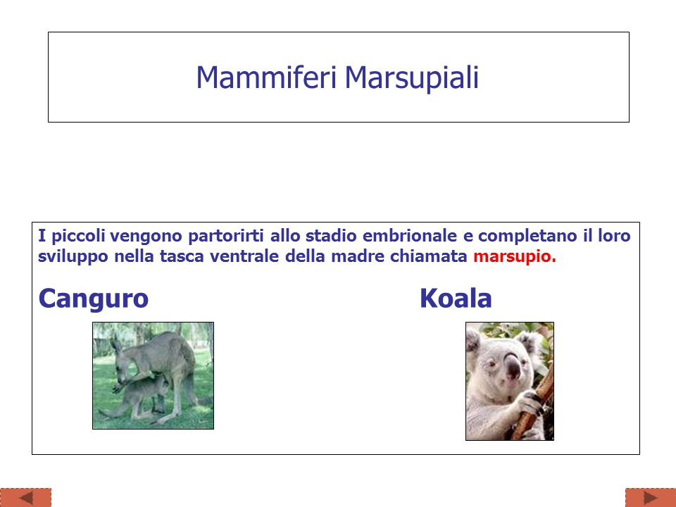 Mammiferi Marsupiali Canguro Koala