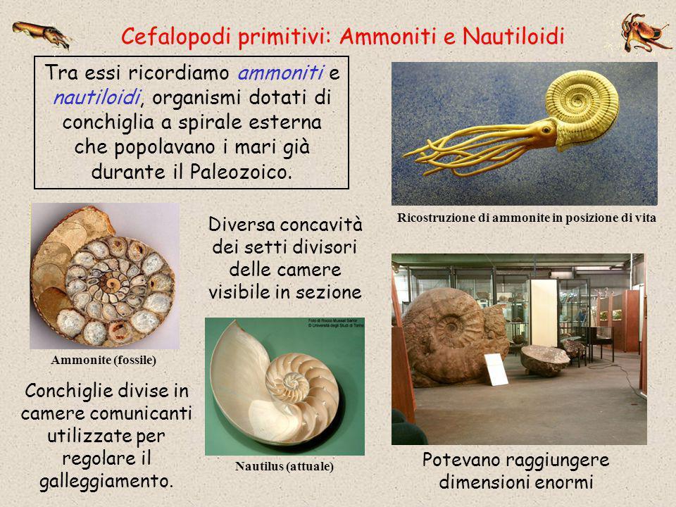 Ricostruzione di ammonite in posizione di vita