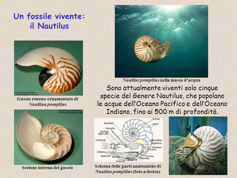 Un fossile vivente: il Nautilus