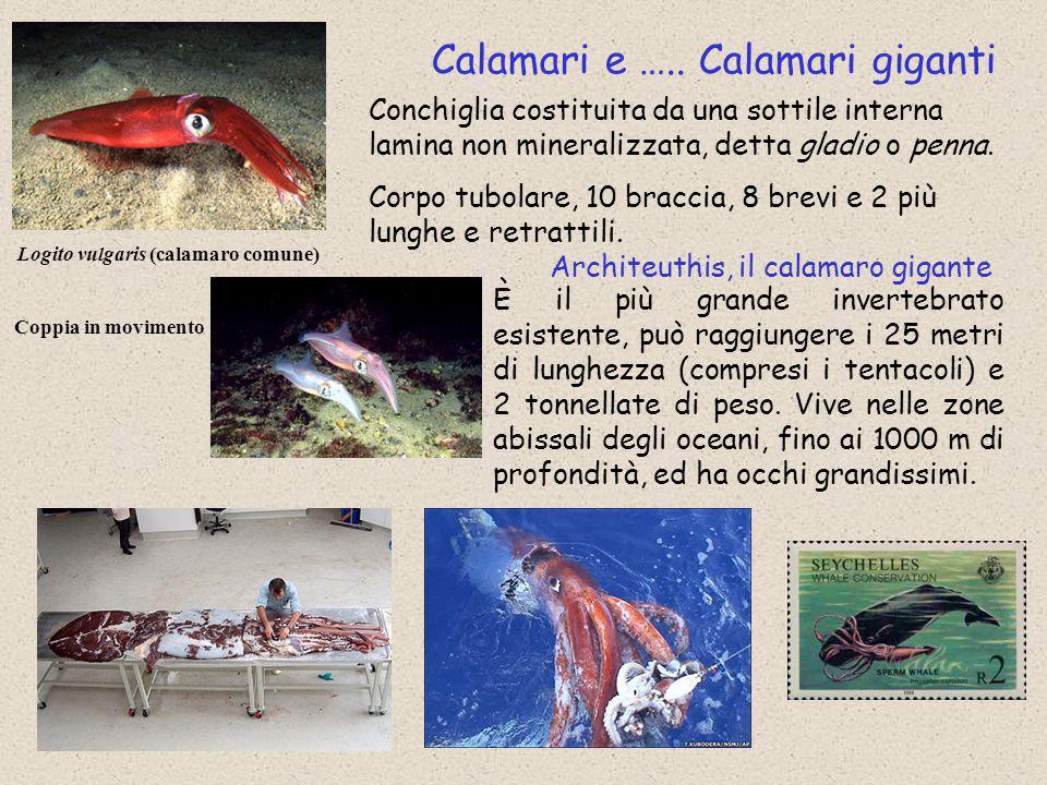 Logito vulgaris (calamaro comune)