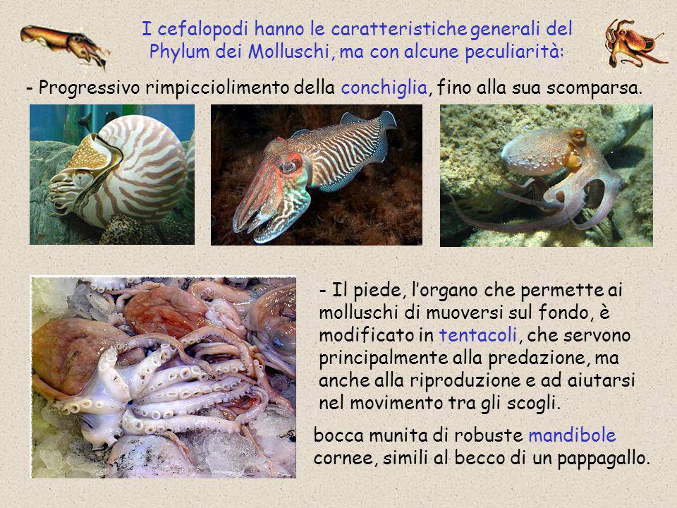 I cefalopodi hanno le caratteristiche generali del Phylum dei Molluschi, ma con alcune peculiarità: