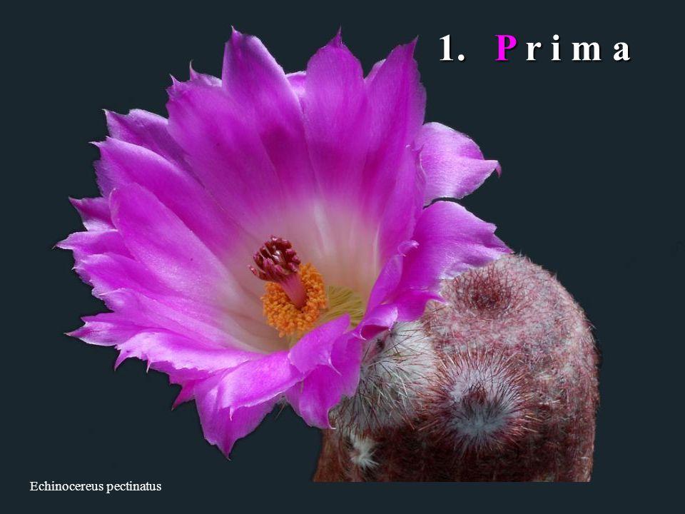 1. P r i m a Echinocereus pectinatus