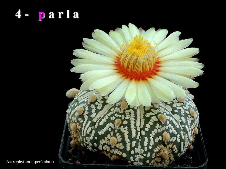 4 - p a r l a Astrophytum super kabuto