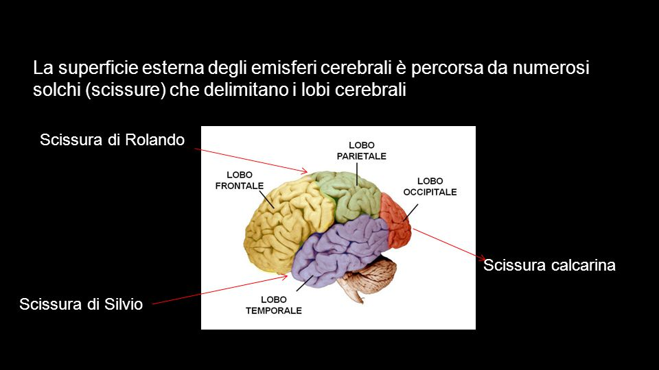 La superficie esterna degli emisferi cerebrali è percorsa da numerosi solchi (scissure) che delimitano i lobi cerebrali