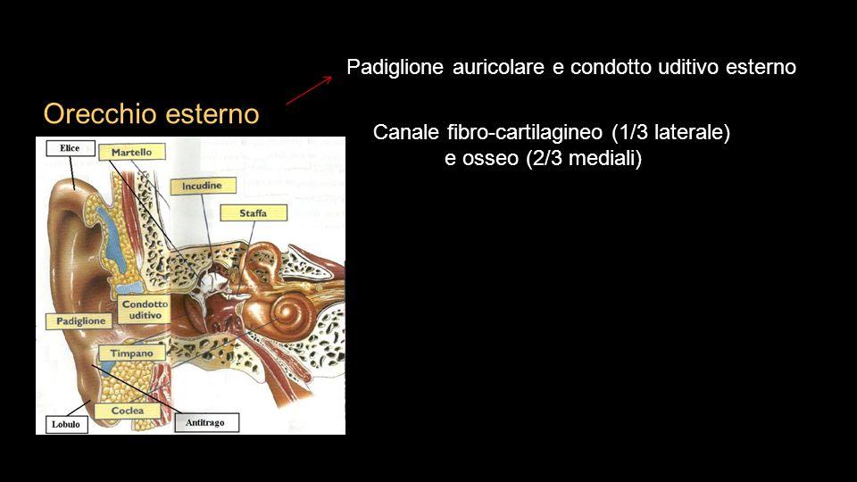 Orecchio esterno Padiglione auricolare e condotto uditivo esterno