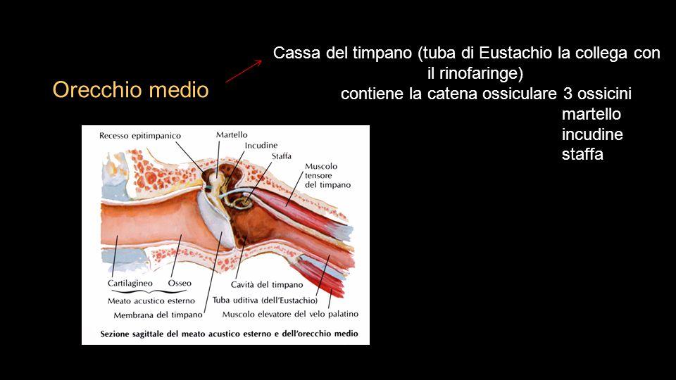 Orecchio medio Cassa del timpano (tuba di Eustachio la collega con