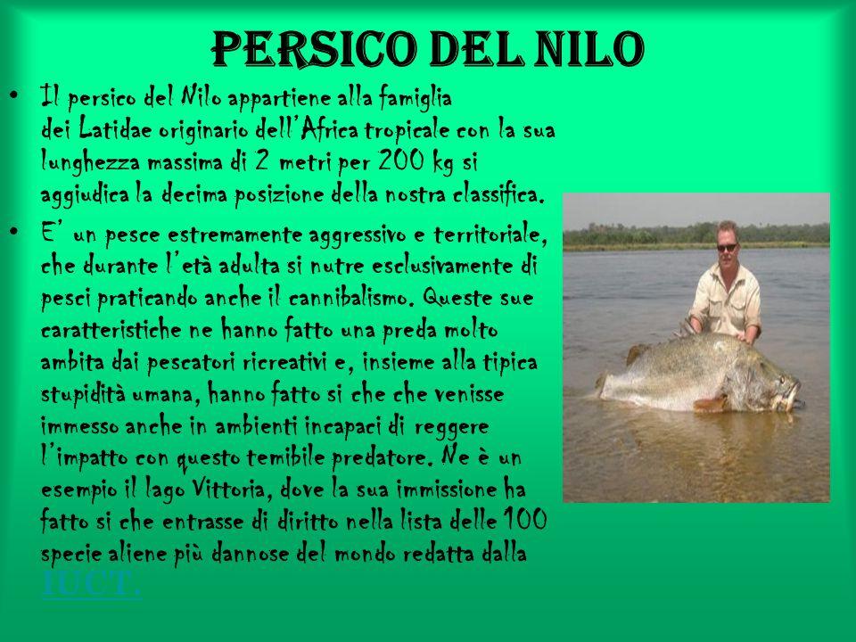 Persico del Nilo