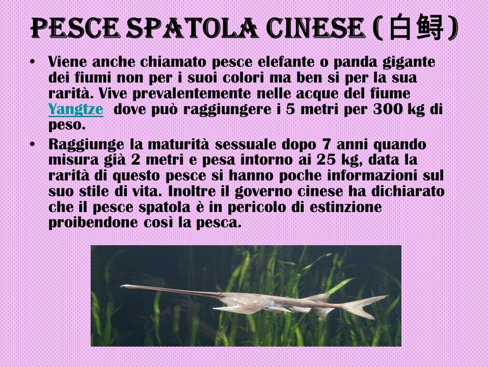 Pesce spatola cinese (白鲟)