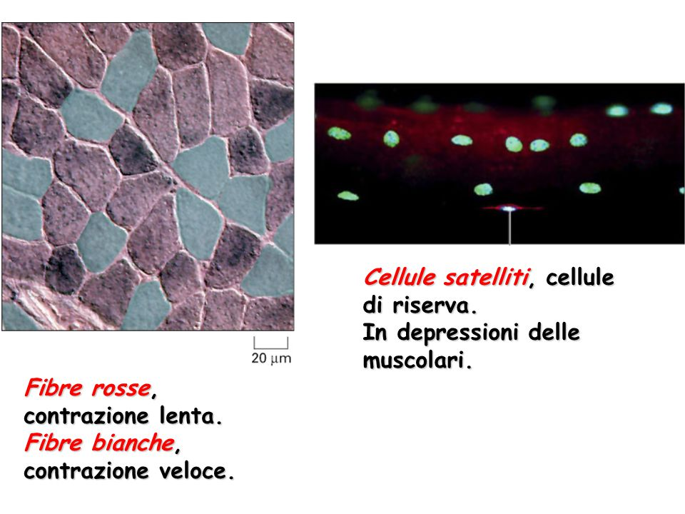 Cellule satelliti, cellule di riserva.
