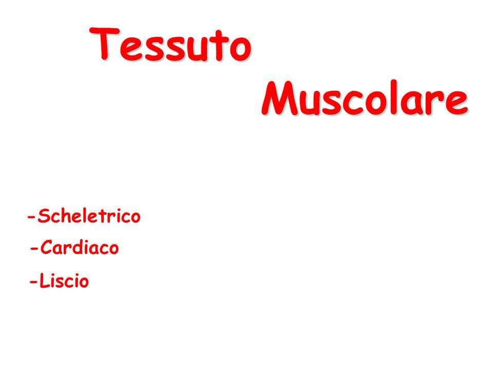 Tessuto Muscolare -Scheletrico -Cardiaco -Liscio