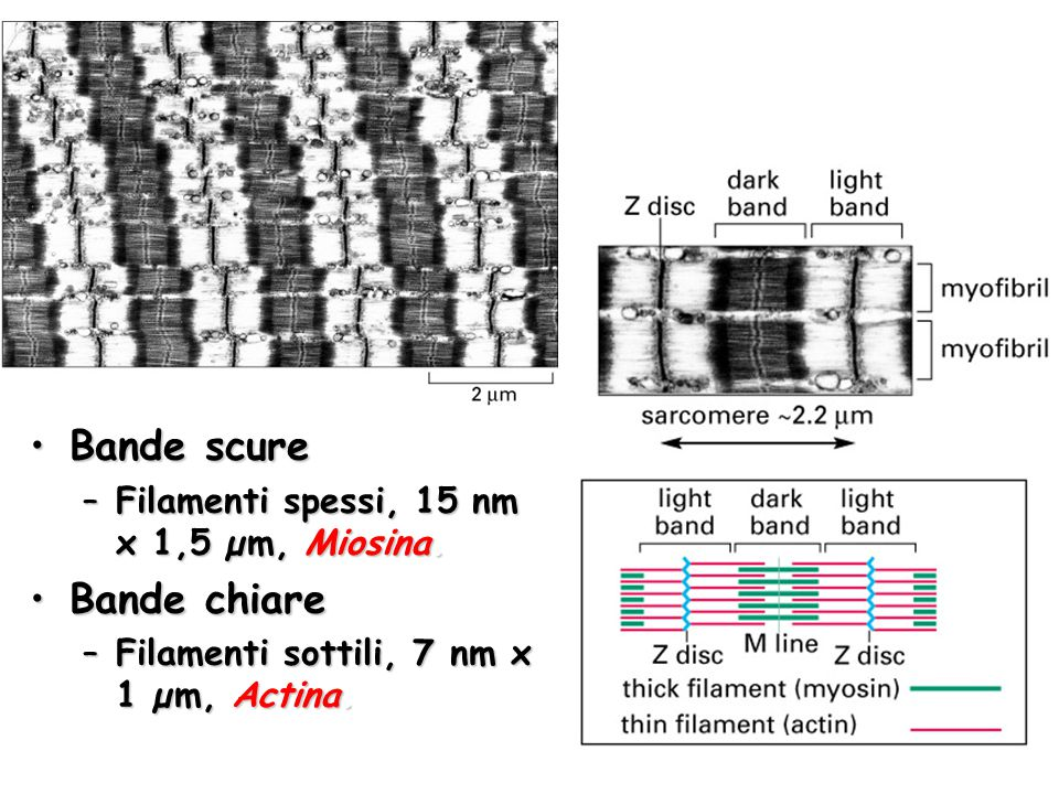 Bande scure Bande chiare Filamenti spessi, 15 nm x 1,5 µm, Miosina.