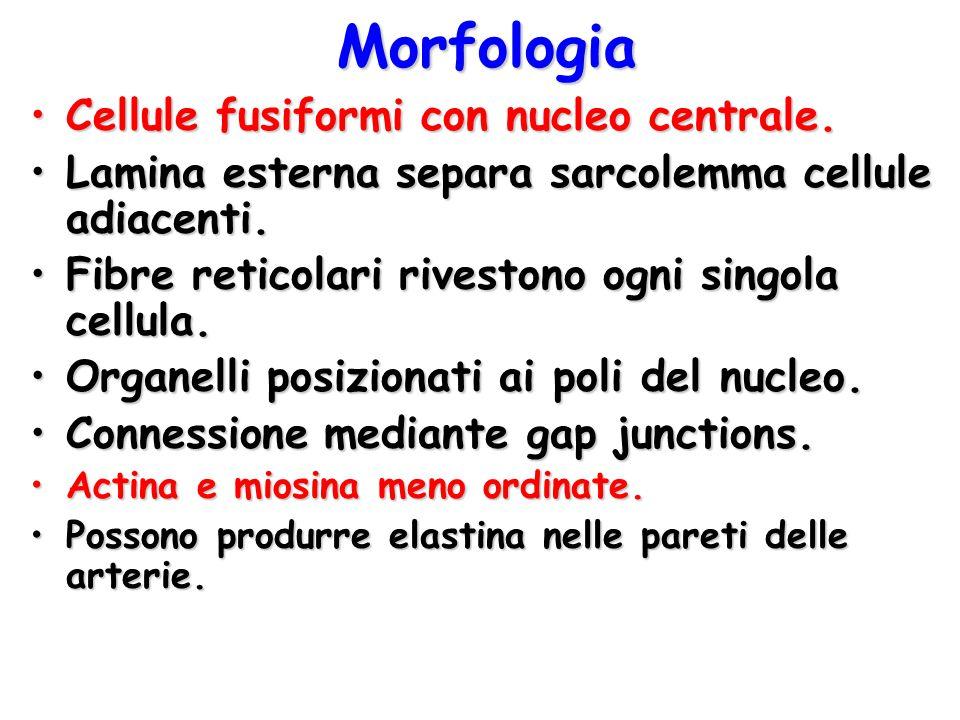 Morfologia Cellule fusiformi con nucleo centrale.