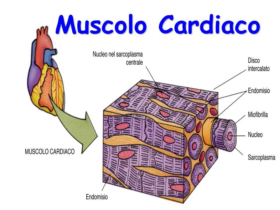 Muscolo Cardiaco