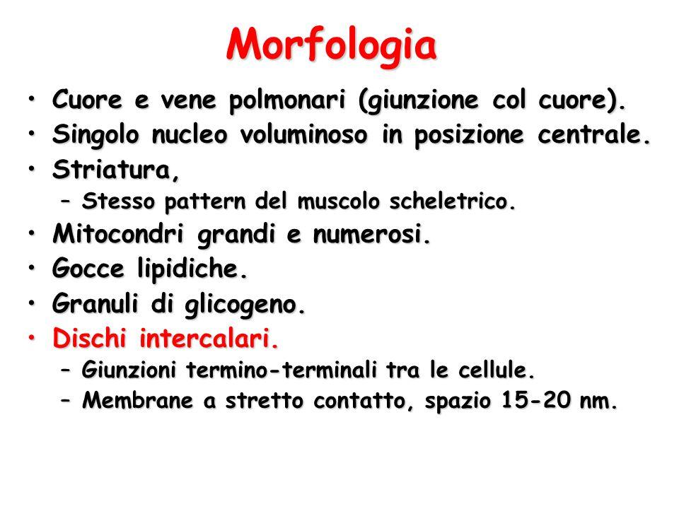 Morfologia Cuore e vene polmonari (giunzione col cuore).