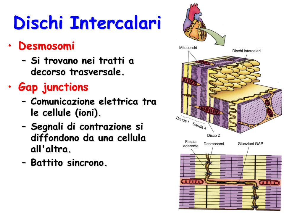 Dischi Intercalari Desmosomi Gap junctions
