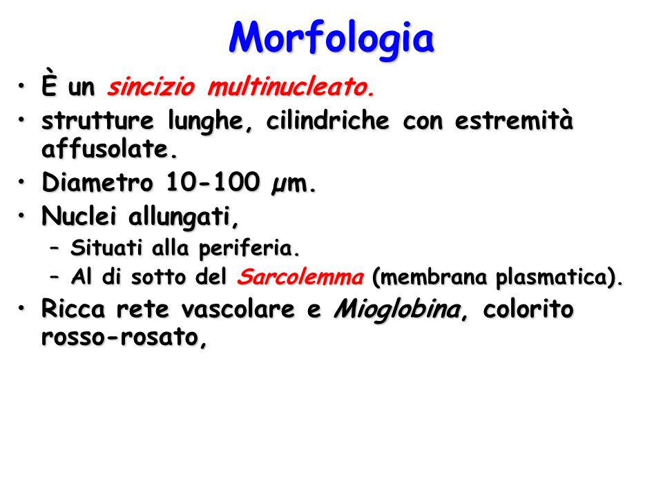 Morfologia È un sincizio multinucleato.