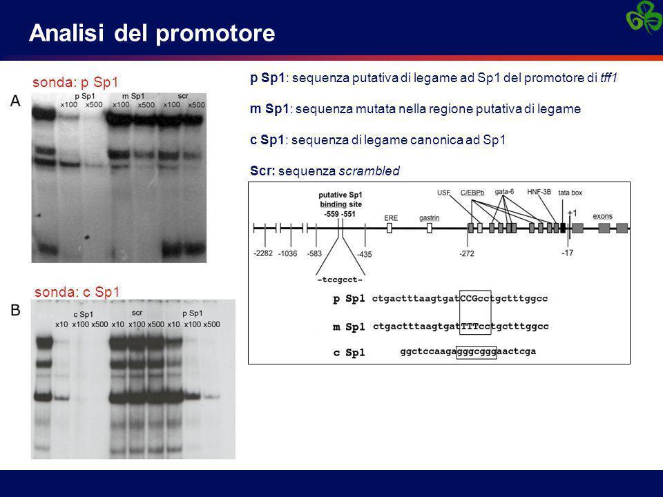 Analisi del promotore sonda: p Sp1 sonda: c Sp1