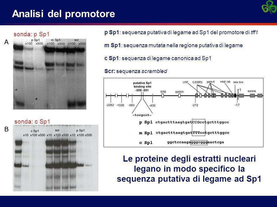 Analisi del promotore sonda: p Sp1. p Sp1: sequenza putativa di legame ad Sp1 del promotore di tff1.