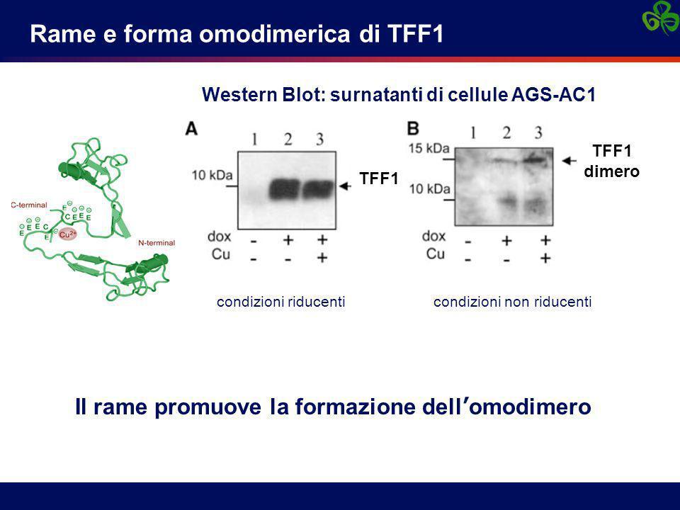 Rame e forma omodimerica di TFF1