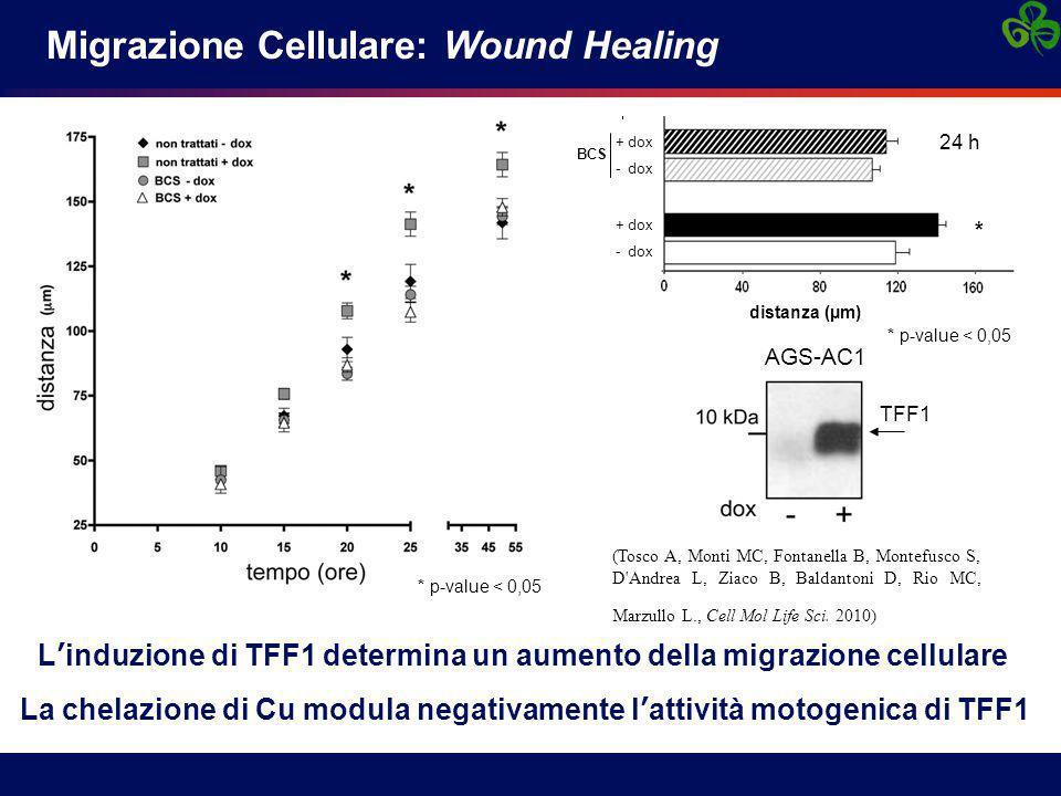 Migrazione Cellulare: Wound Healing
