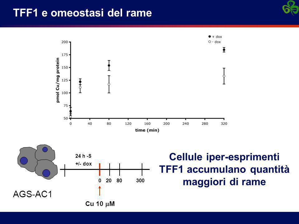 Cellule iper-esprimenti TFF1 accumulano quantità maggiori di rame