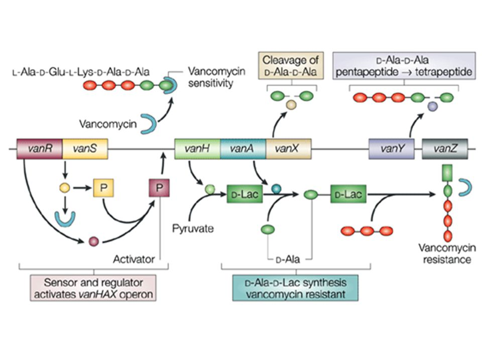 The VanA gene cluster that confers vancomycin resistance