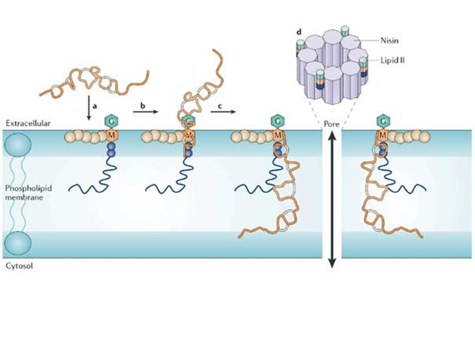 First, nisin reaches the bacterial plasma membrane (a), where it binds to Lipid II via two of its amino-terminal rings (b).