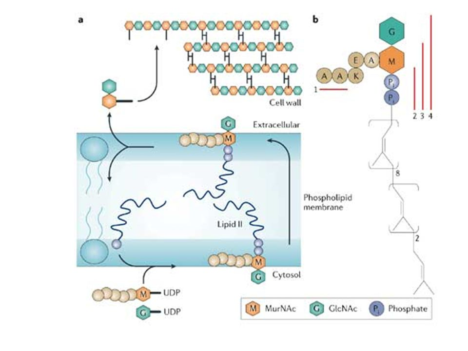 a | Assembly of the cell-wall subunit takes place on the cytosolic side of the bacterial plasma membrane.