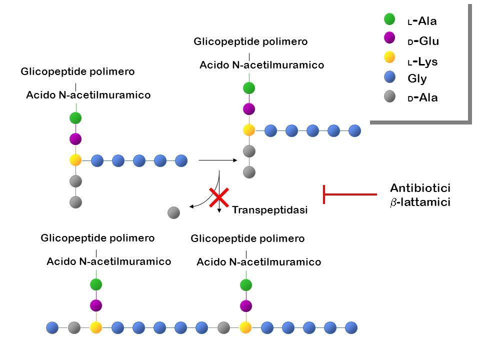 Gly Antibiotici -lattamici Glicopeptide polimero