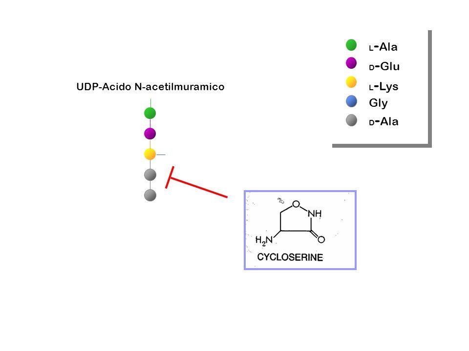 L-Ala D-Glu L-Lys Gly D-Ala UDP-Acido N-acetilmuramico