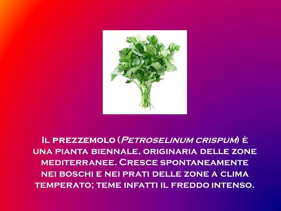 Il prezzemolo (Petroselinum crispum) è una pianta biennale, originaria delle zone mediterranee.
