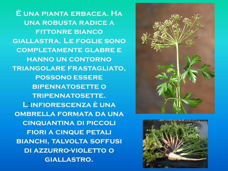 È una pianta erbacea. Ha una robusta radice a fittonre bianco giallastra.