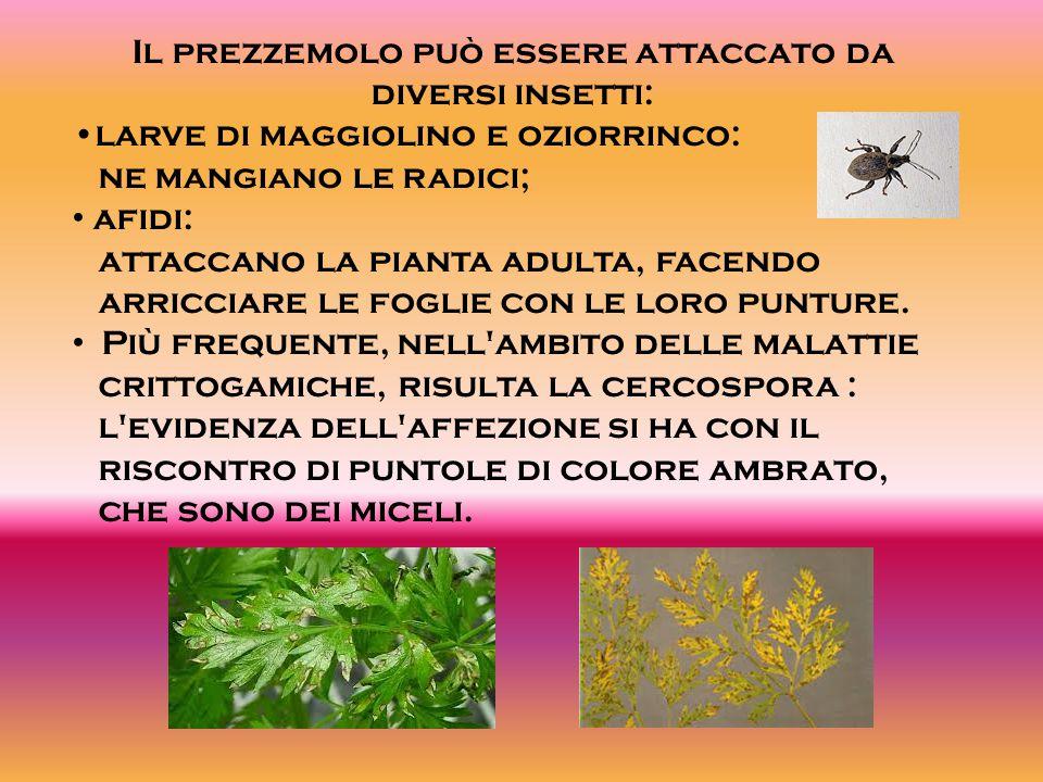 Il prezzemolo può essere attaccato da diversi insetti: