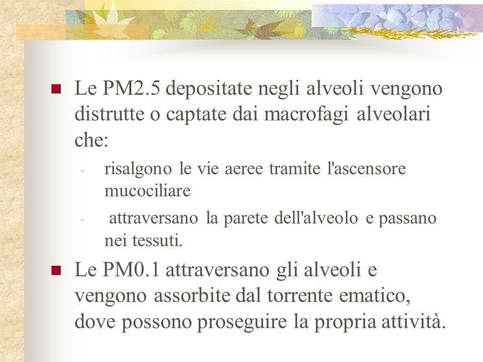 Le PM2.5 depositate negli alveoli vengono distrutte o captate dai macrofagi alveolari che: