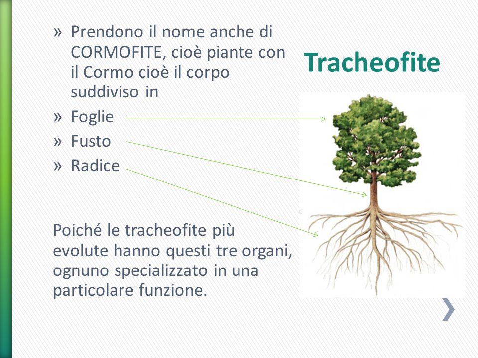 Prendono il nome anche di CORMOFITE, cioè piante con il Cormo cioè il corpo suddiviso in