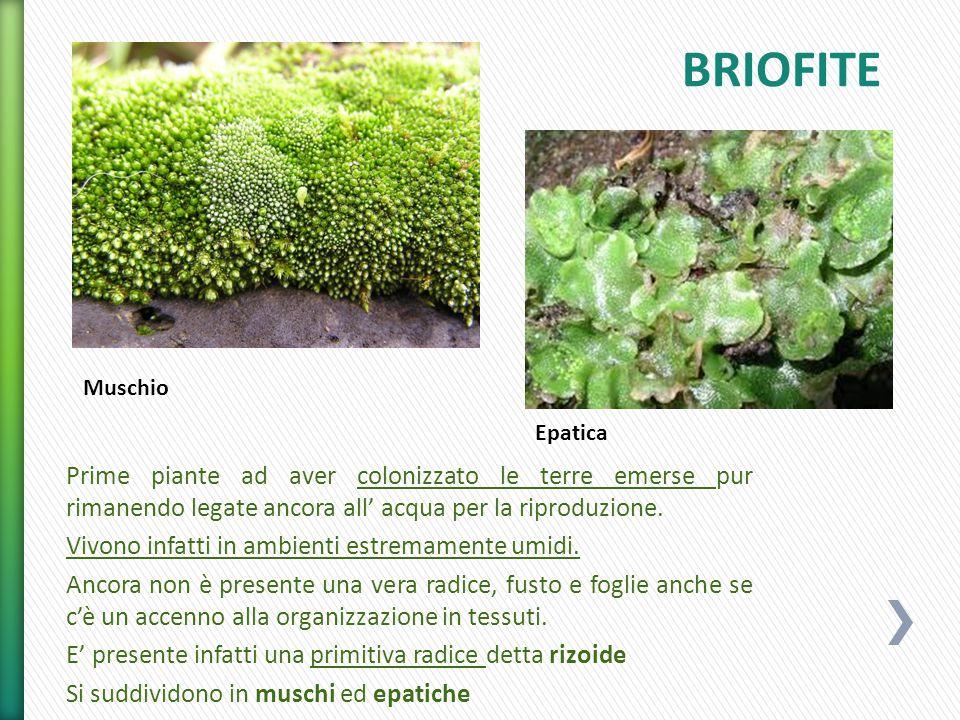 BRIOFITE Muschio. Epatica. Prime piante ad aver colonizzato le terre emerse pur rimanendo legate ancora all' acqua per la riproduzione.