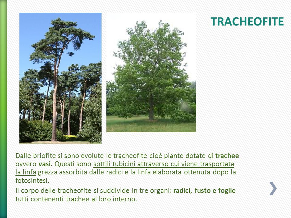 TRACHEOFITE
