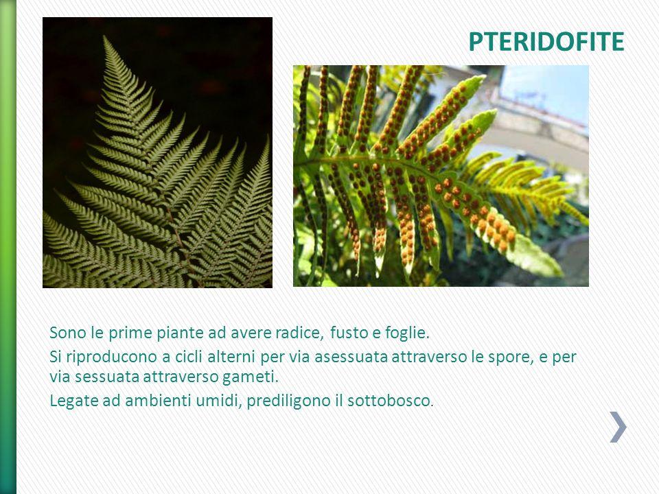 PTERIDOFITE Sono le prime piante ad avere radice, fusto e foglie.