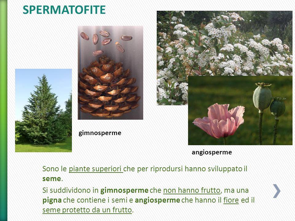 SPERMATOFITE gimnosperme. angiosperme. Sono le piante superiori che per riprodursi hanno sviluppato il seme.