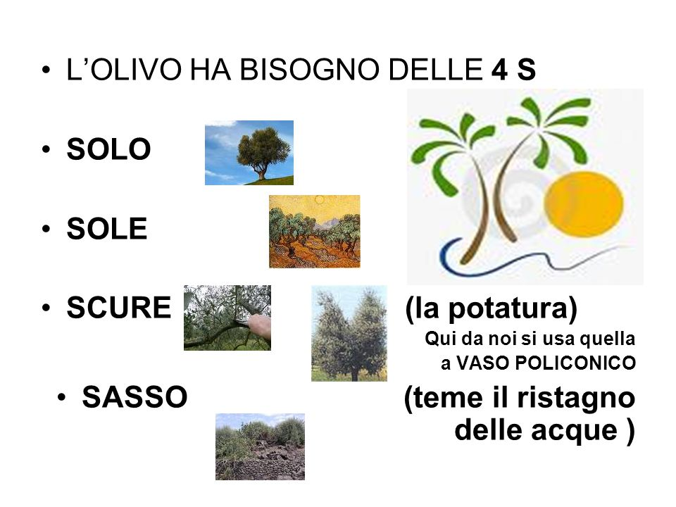 L'OLIVO HA BISOGNO DELLE 4 S SOLO SOLE SCURE (la potatura)