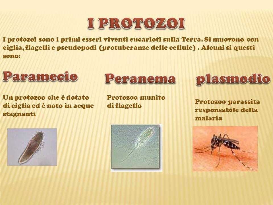 I PROTOZOI Paramecio Peranema plasmodio