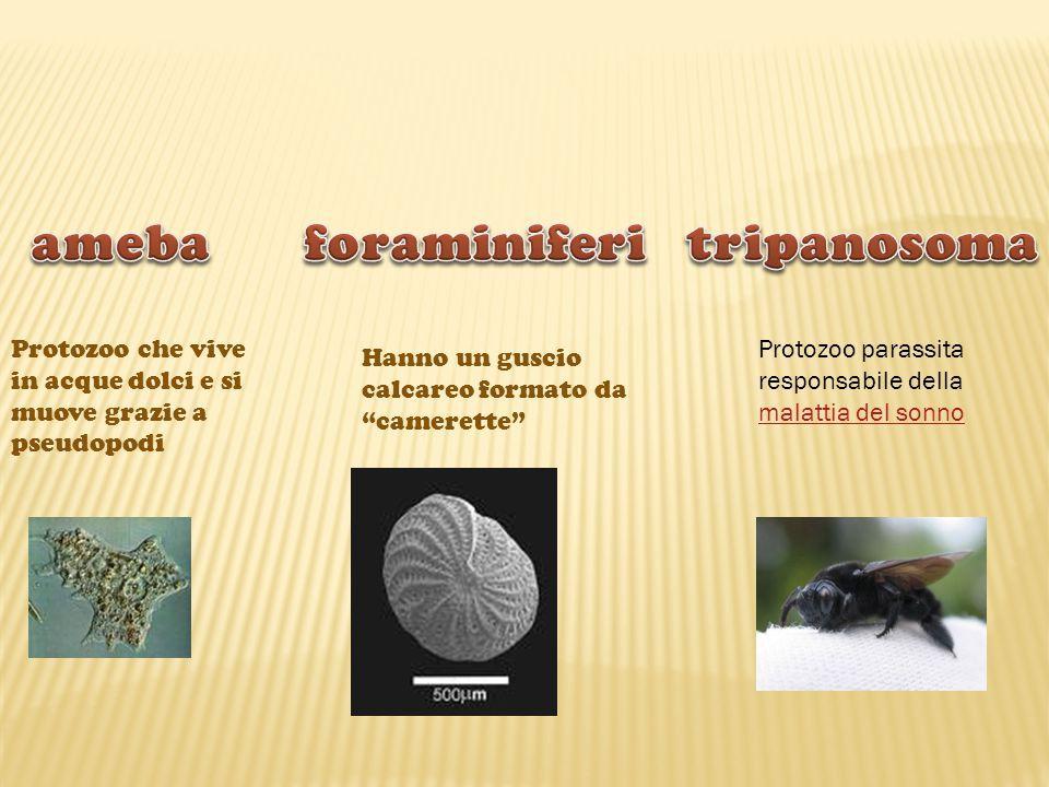 ameba foraminiferi tripanosoma