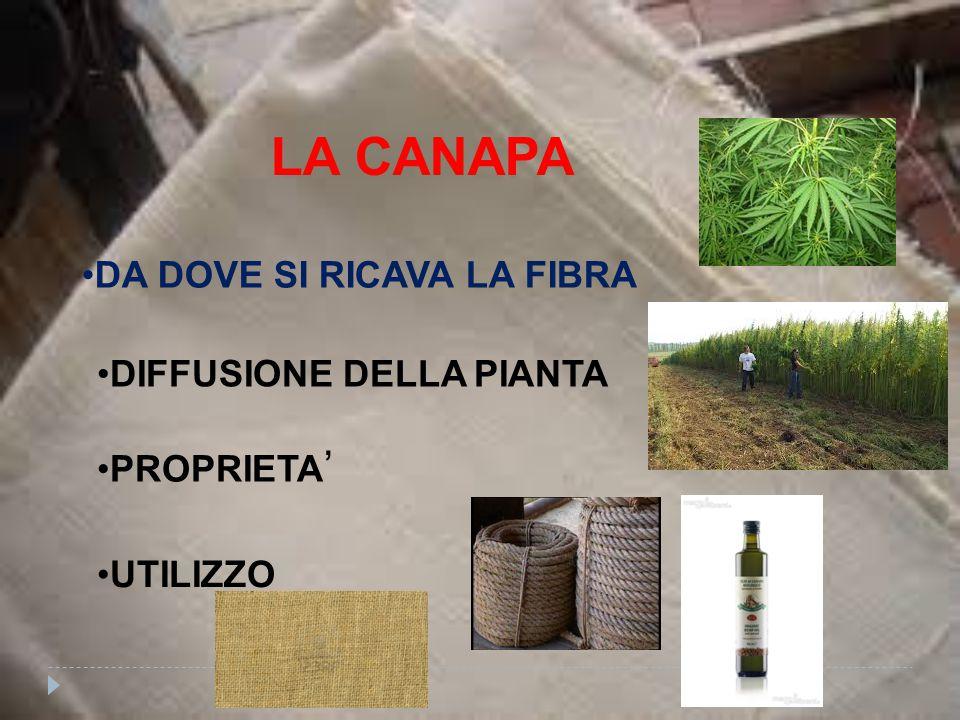 LA CANAPA DA DOVE SI RICAVA LA FIBRA DIFFUSIONE DELLA PIANTA