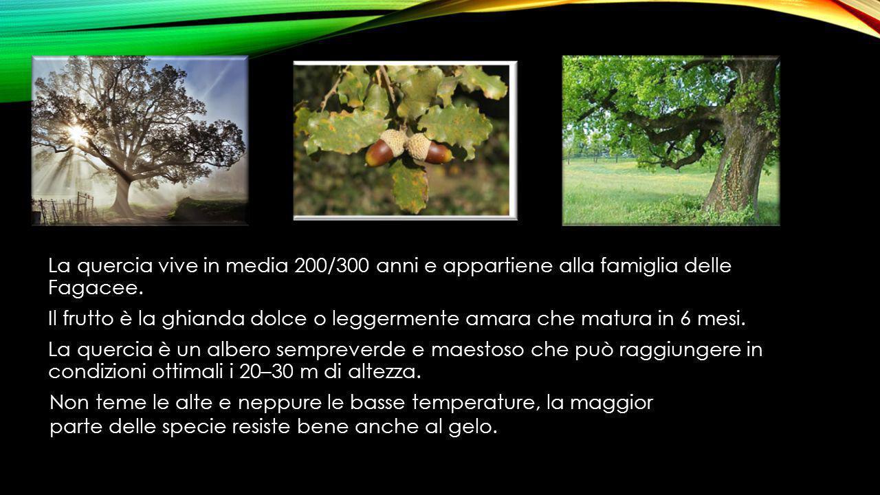 La quercia vive in media 200/300 anni e appartiene alla famiglia delle Fagacee. Il frutto è la ghianda dolce o leggermente amara che matura in 6 mesi. La quercia è un albero sempreverde e maestoso che può raggiungere in condizioni ottimali i 20–30 m di altezza.