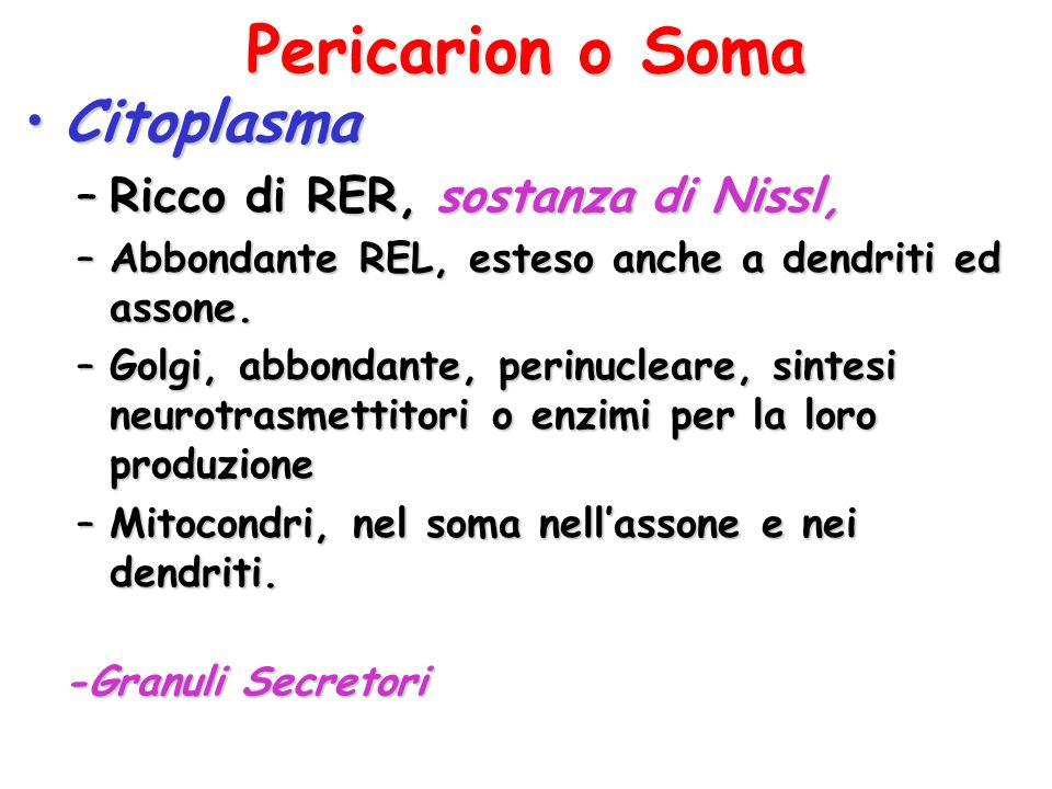 Pericarion o Soma Citoplasma Ricco di RER, sostanza di Nissl,