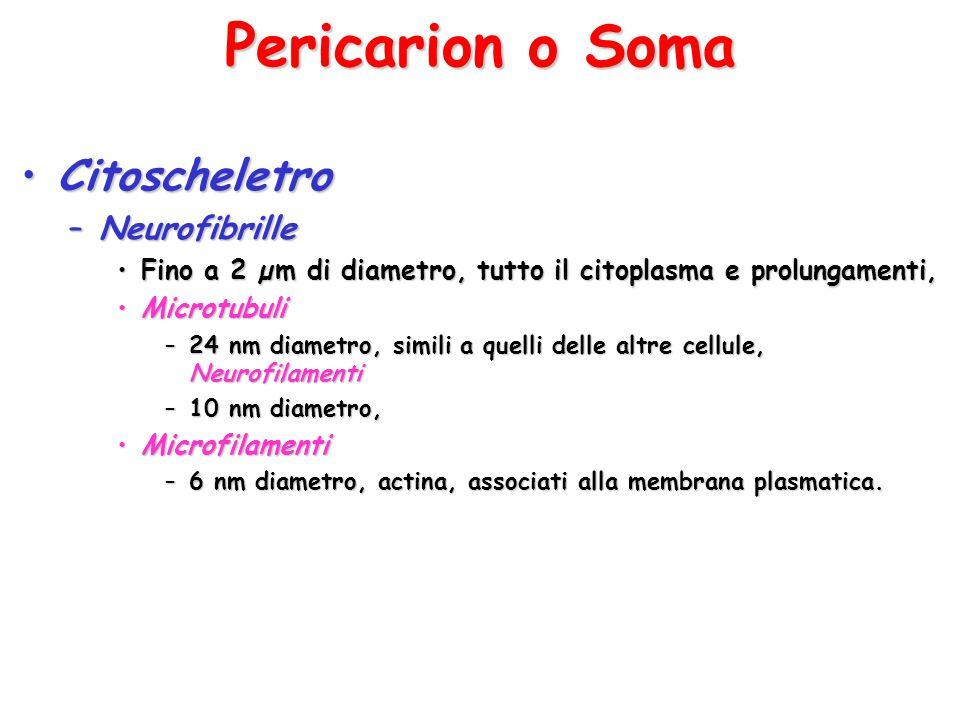 Pericarion o Soma Citoscheletro Neurofibrille