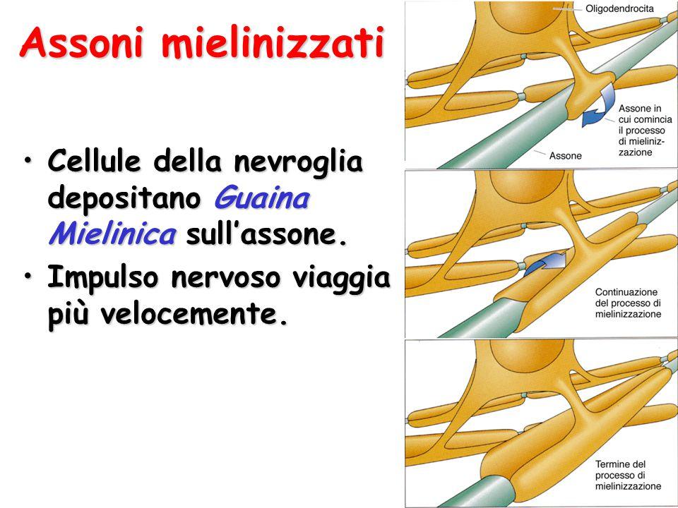 Assoni mielinizzati Cellule della nevroglia depositano Guaina Mielinica sull'assone.