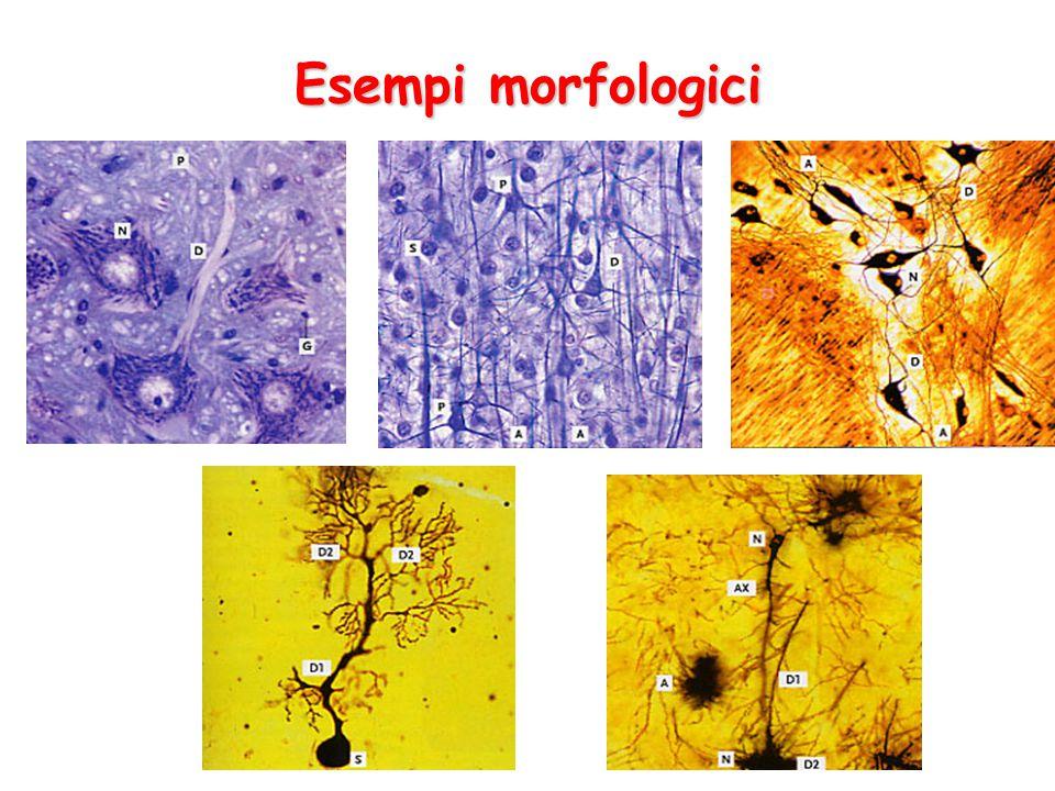 Esempi morfologici