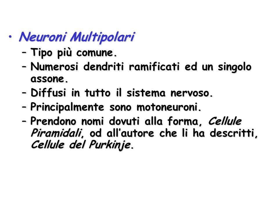 Neuroni Multipolari Tipo più comune.