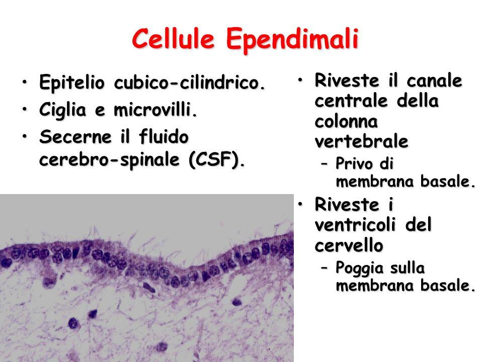 Cellule Ependimali Epitelio cubico-cilindrico. Ciglia e microvilli.
